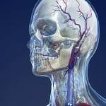 """Die Ausstellung """"Universum Mensch"""" begleitet sie durch die Anatomie des Menschen"""