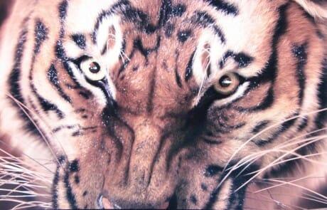 szene-tiger